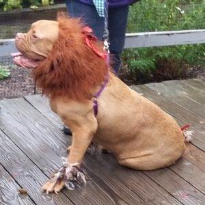 5 Halloween Costume Ideas for Your Dog - Lion